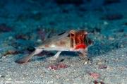 cocos_red-liped-batfish